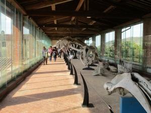 La galleria dei cetacei al Museo di Storia Naturale