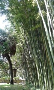 Bambù, Orto Botanico